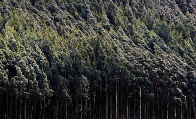 El eucalipto se ha calificado como especie degradante y ávida de nutrientes