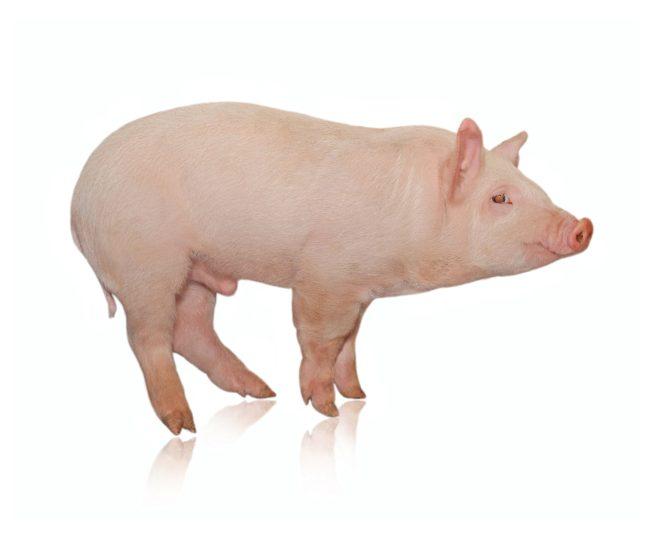 En El Nombre Del Cerdo