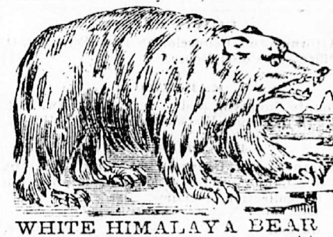 Representación del «oso blanco del Himalaya» publicada en un periódico de Ohio en 1865.