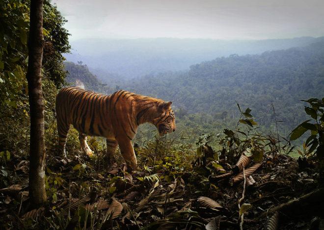 El tigre de Sumatra, en la cuerda floja por la producción de aceite de palma
