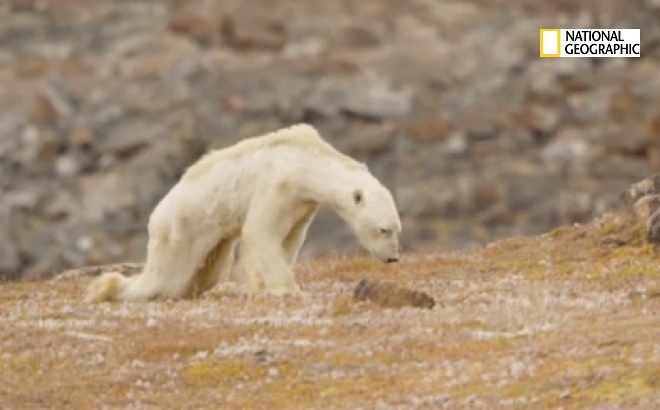 El oso polar moribundo... símbolo de la lucha contra el cambio climático