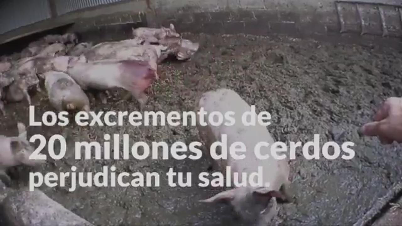 """El PACMA pide el voto para defender a """"20 millones de cerdos"""" y que Cataluña deje de ser """"el estercolero de Europa"""""""