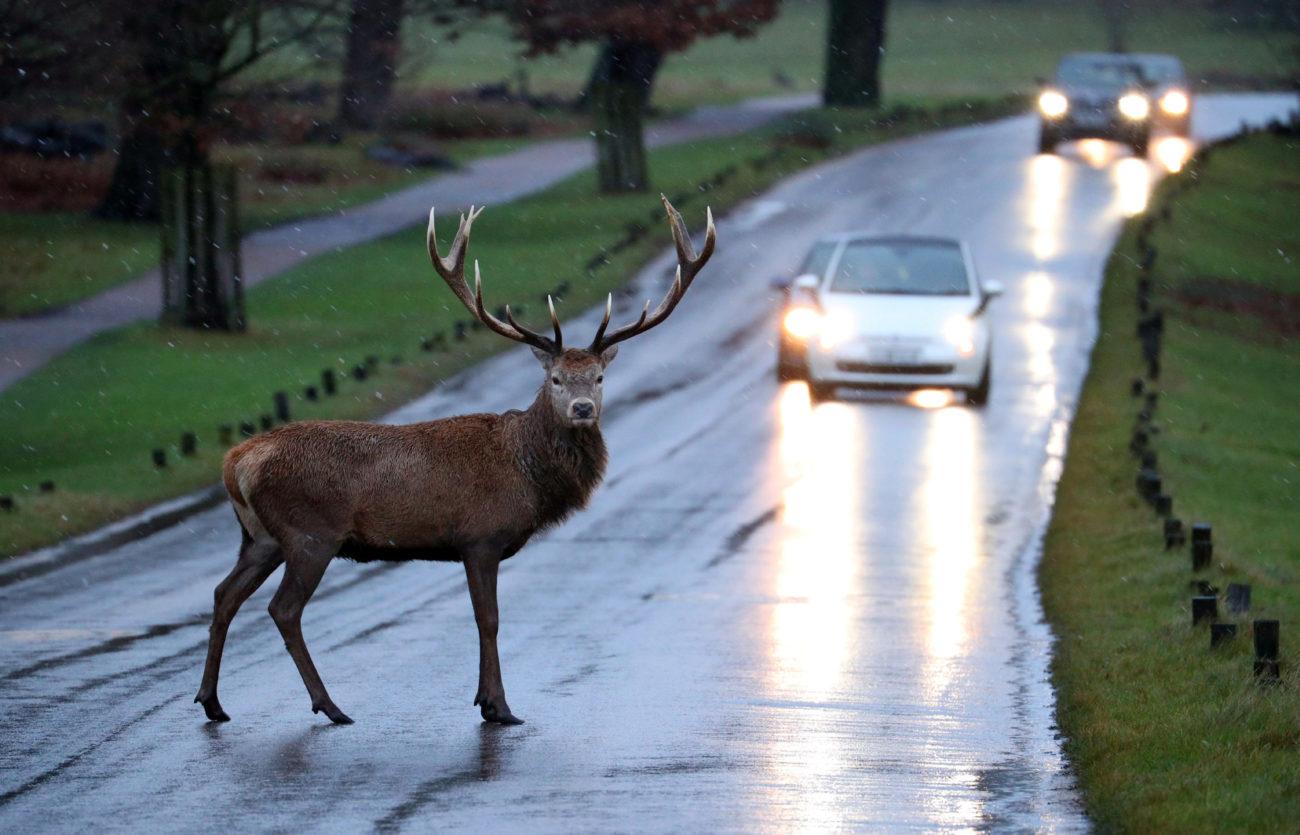 Resultado de imagen de ciervo carretera