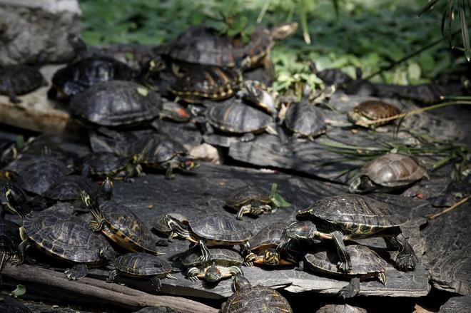 Las m s de 300 tortugas del estanque de atocha se for Imagenes de estanques para ninos