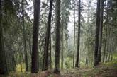 El misterioso bosque de las Colinas de las Brujas en Juodkrante (Istmo...