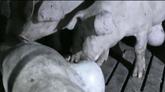 Varios cerdos comiéndose a otro muerto en una granja que provee a El...