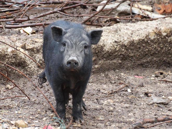Faada busca familias adoptivas para 29 cerdos vietnamitas víctimas de maltratos