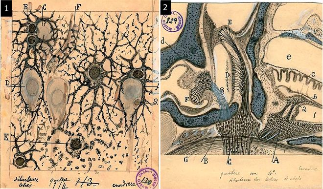 1. Astrocitos (células del sistema nervioso central) del hipocampo (estructura del cerebro) de un hombre tres horas después de su muerte.  2. Cajal no sólo dibujó neuronas; también pintó la anatomía del oído interno.