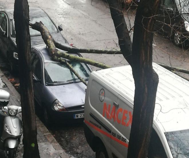 Árbol caído en el número 126 del Paseo de la Castellana.