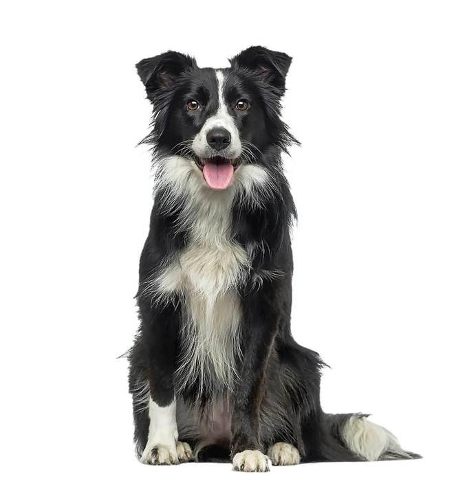 0e3d3de07 Estas son las razas de perro más inteligentes | Familia & co