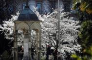 Vista de un árbol en flor en la plaza de Gipuzkoa de San Sebastián que anuncia la entrada de la Primavera