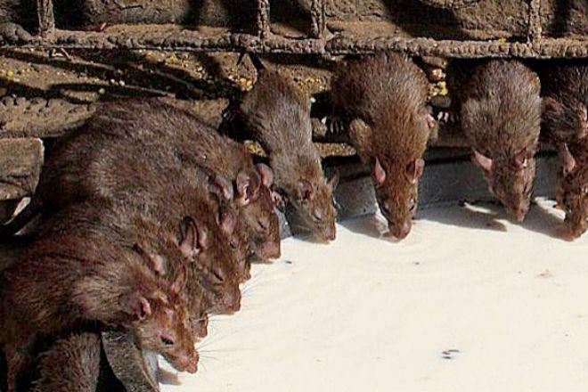 El misterio de las 300.000 ratas que invadieron una sede de gobierno en India