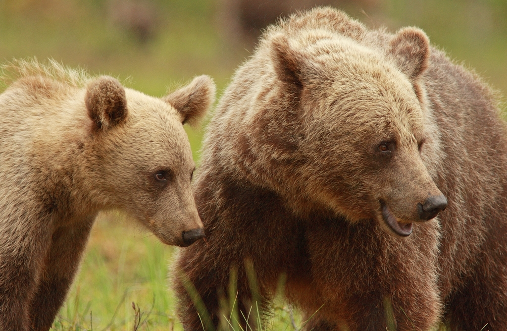 osos y cazadores