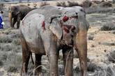 Uno de los elefantes que resultó herido tras volcar el camión en el...