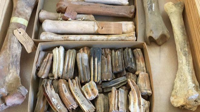Huesos de un caballo de hace unos 100.000 años