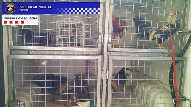 Ejemplares de los gallos incautados por los Mossos d'Esquadra.