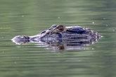La selva amazónica alberga infinidad de especies animales, entre las...