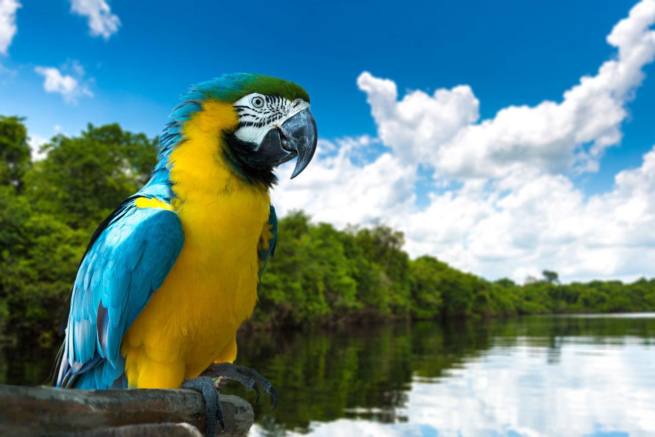 Guacamayo azul y amarillo en la naturaleza de Amazonía