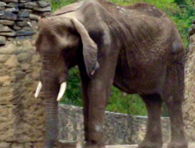 Réquiem por la elefanta más popular de Caracas, cuya tragedia