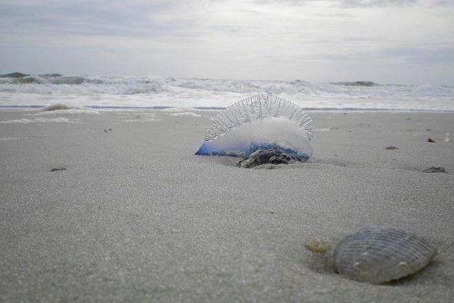 Un ejemplar de carabela portuguesa varada en una playa de Valencia
