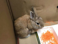 El pequeño conejo recuperado por la policía federal de Australia.