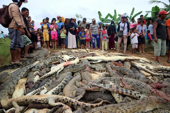 Vecinos de Papúa Occidental celebran la masacre de cocodrilos.