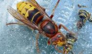 Fotografía del avispón asiático facilitada por la organización agraria AVA-ASAJA.