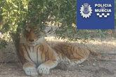 El tigre pegó un gran susto a un vecino.
