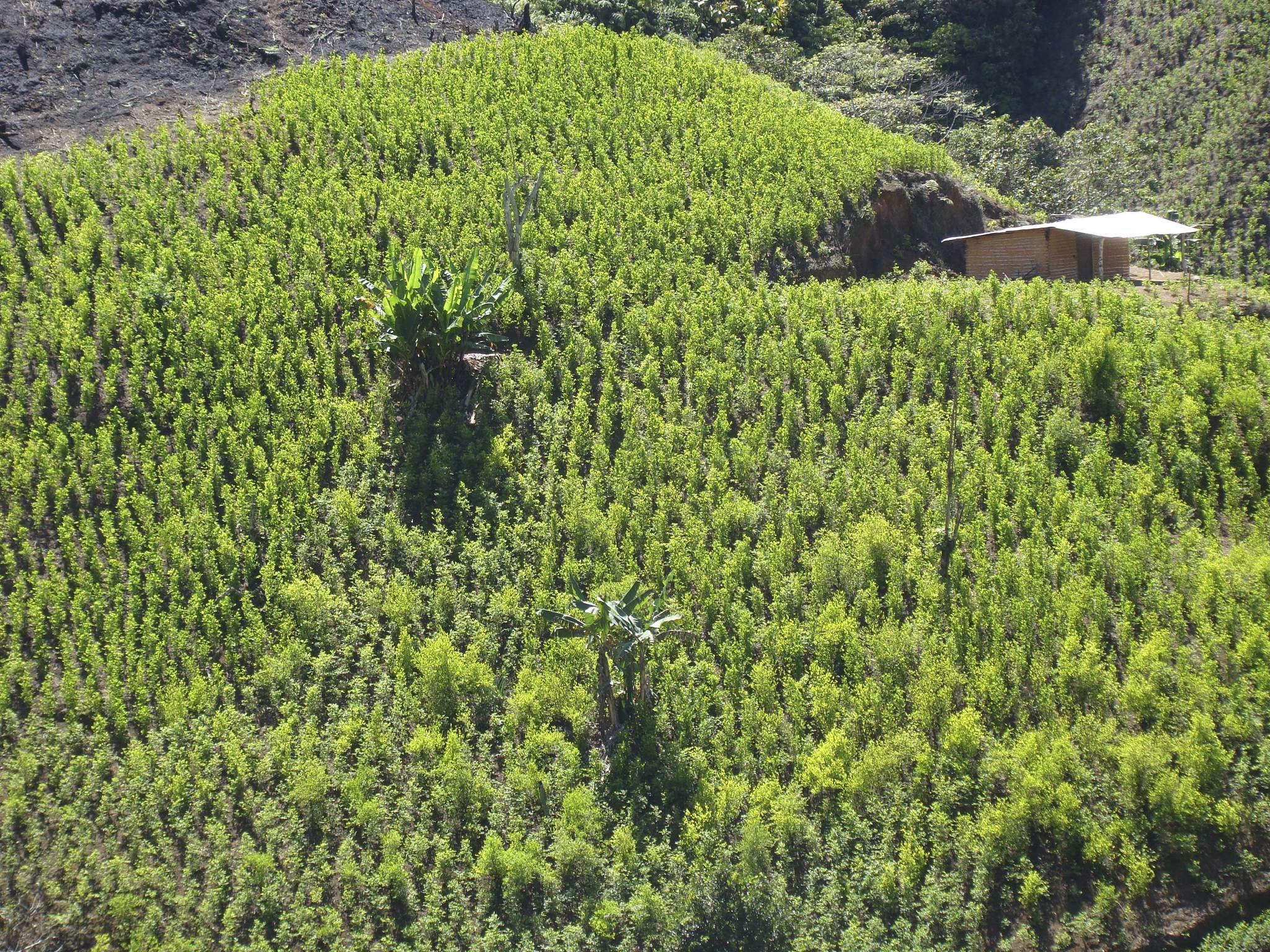 Cultivos de coca en El Mango, al sur del departamento del Cauca.