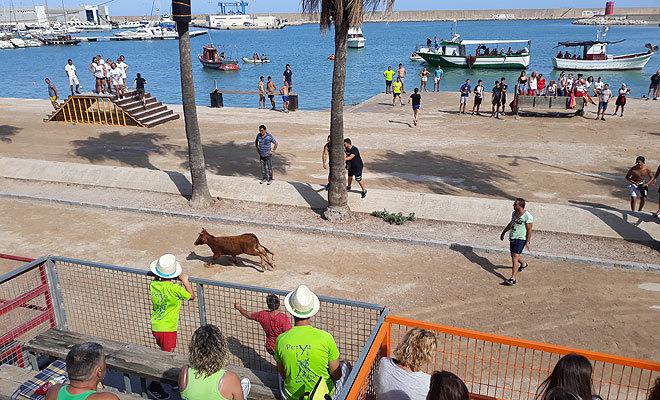 Exhibición de vacas en los 'bous a la mar' de este martes, en Benicarló, donde murió una res tras caer al agua.