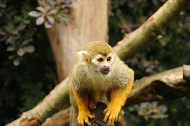 El mono ardilla crece hasta los 35 cm, y su cola alcanza los 42. No...