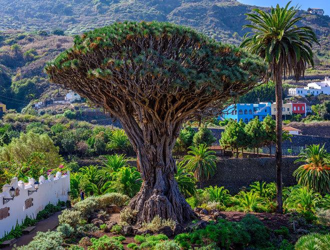 El Drago Milenario de Icod de los Vinos, en Santa Cruz de Tenerife.