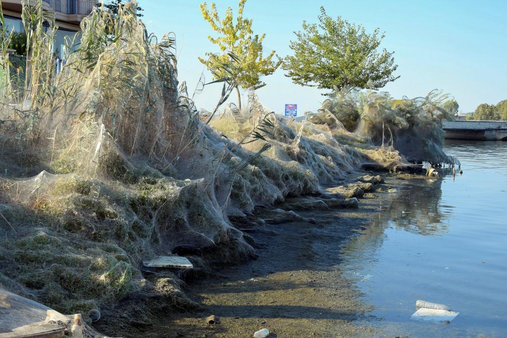 Una gran telaraña cubre la vegetación de la costa de Aitoliko, a 250...
