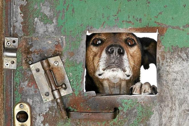 Un perro se asoma por una de las puertas de la protectora Defensa Animal de Laguna de Duero, en Valladolid.