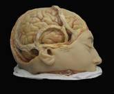 Modelo en cera del cerebro humano del último tercio del XIX.