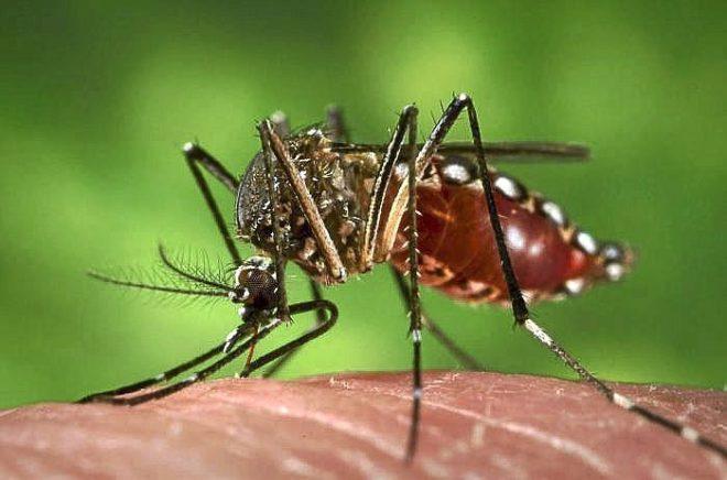 Un ejemplar de 'Aedes aegypti', la especie de mosquito que transmite...