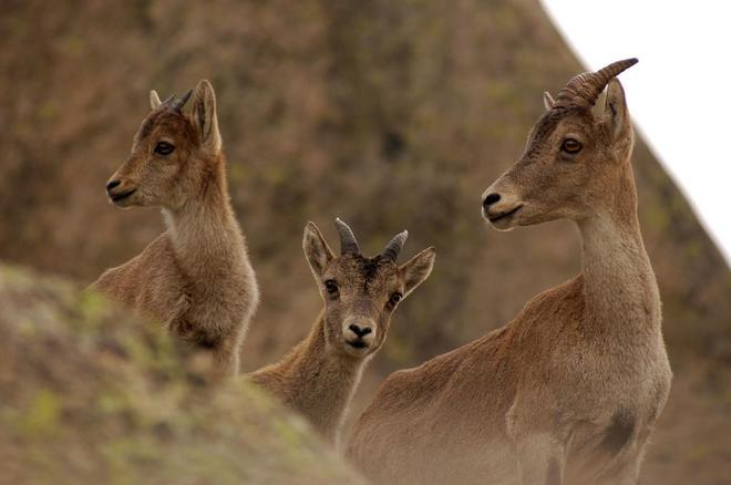 Cabras montesas en la sierra de Guadarrama.