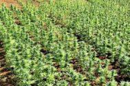 Una plantación de marihuana desmantelada por la Policía en Pedreguer, Alicante.