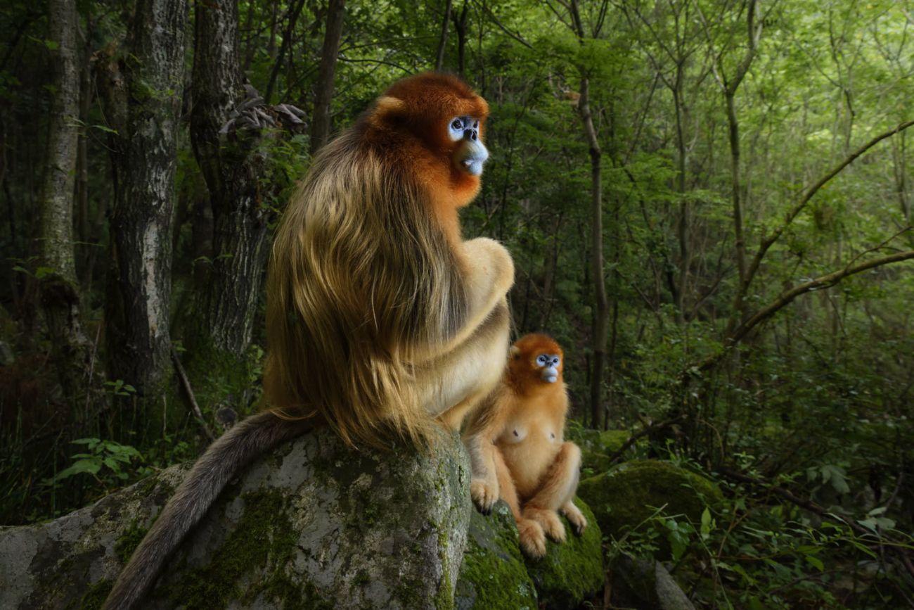 Wildlife Photographer of the Year  2018: pareja de monos morados de...