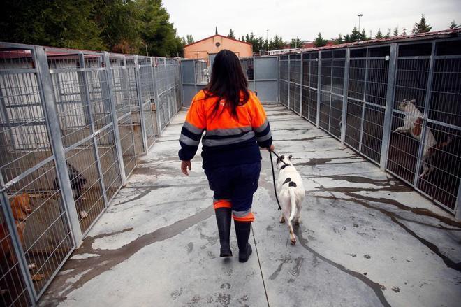 Una trabajadora de la perrera de Parla lleva un perro a su chenil.