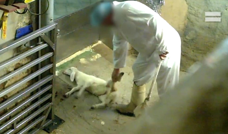 La matanza nada silenciosa de los corderos