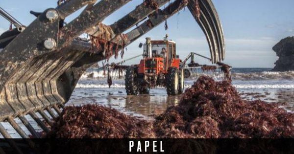 El milagro del ocle asturiano: de desecho del mar a 'oro rojo' de la alta cocina