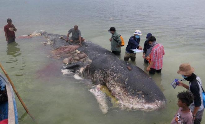 Cachalote con seis kilos de plástico en su estómago varado en Indonesia.
