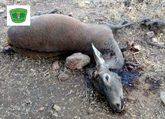 Uno de los ciervos abatidos por el cazador furtivo en la Reserva...