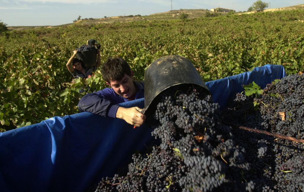 Trabajos de vendimia en Rioja Alavesa.