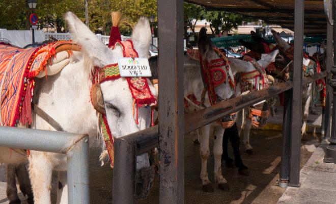 Varios burro-taxis en un establo esperando ofrecer su servicio a los...