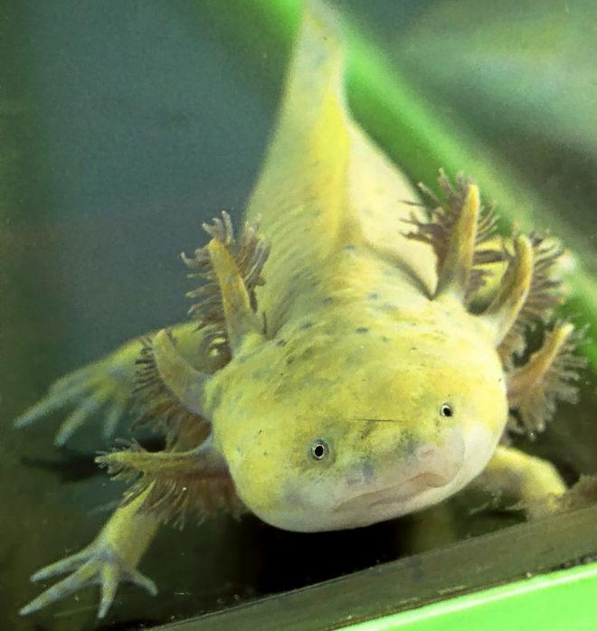 El ajolote conserva sus características de larva o bebé, como branquias y aletas, toda su vida.