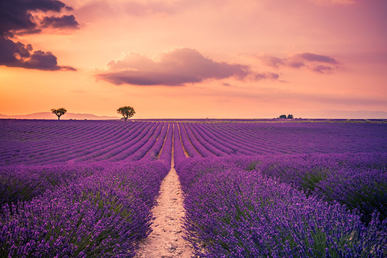 Los campos de lavanda tiñen de lila y violeta los valles de la esta...