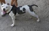 Un perro de raza peligrosa sujetado por su dueño