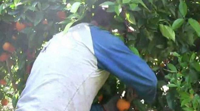 Un collidor cogiendo naranja durante la campaña.